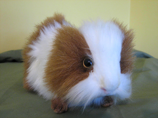 Hansa brown white Guinea Pig