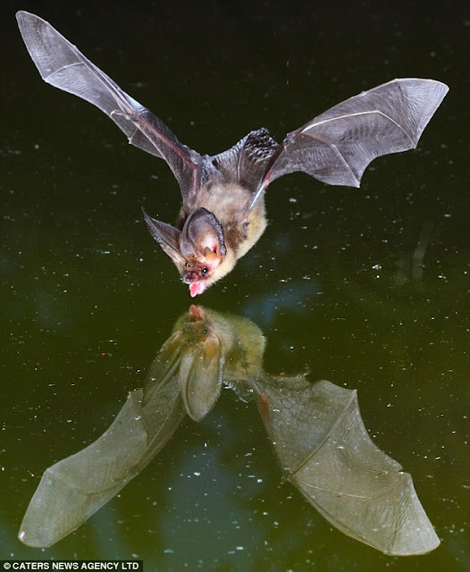 Bats swooping down for a drink photo