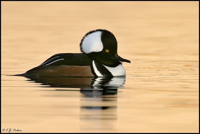 Hooded Merganser duck picture