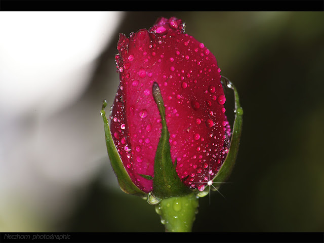 red rose picture