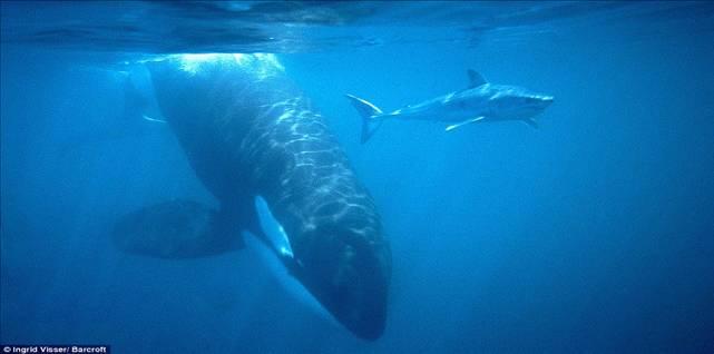Megalodon Shark Vs Killer Whale