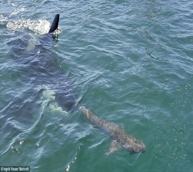 Informations sur les hauturières Orca+whale+delivers+a+karate+chop+3