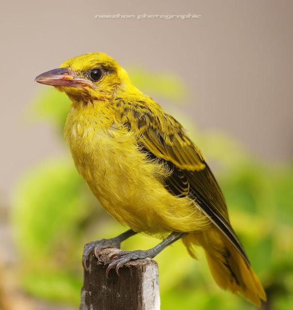 http://3.bp.blogspot.com/_3FTO6EjRbe4/TEW61QBuXmI/AAAAAAAAb-c/2R8yghrWjoI/s1600/burung+kuning+2.jpg