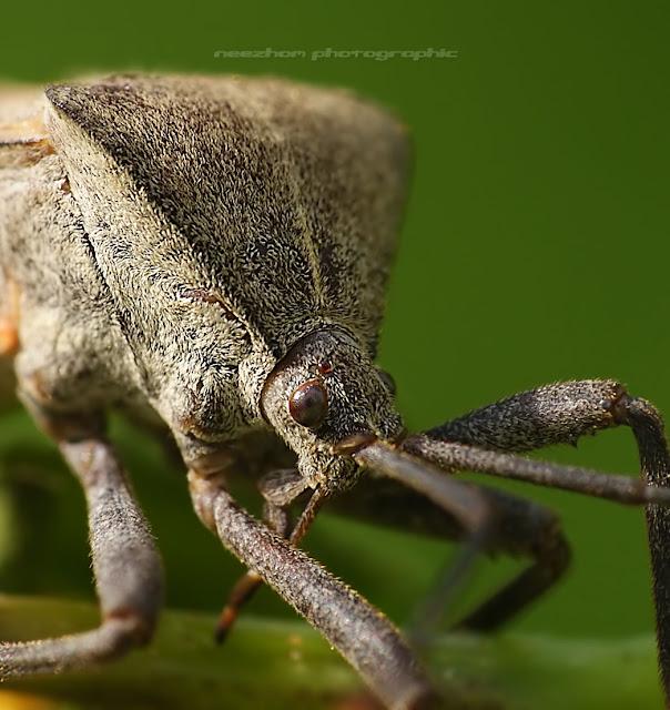 Big hump Shield bug