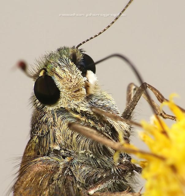 Skipper Moth macro