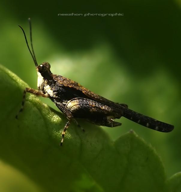 Bird-like Grasshopper