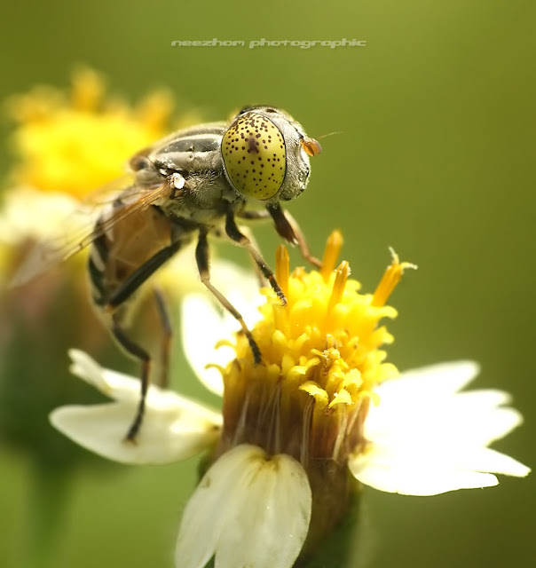 Yellow eyes Hoverfly on Tridax procumbens