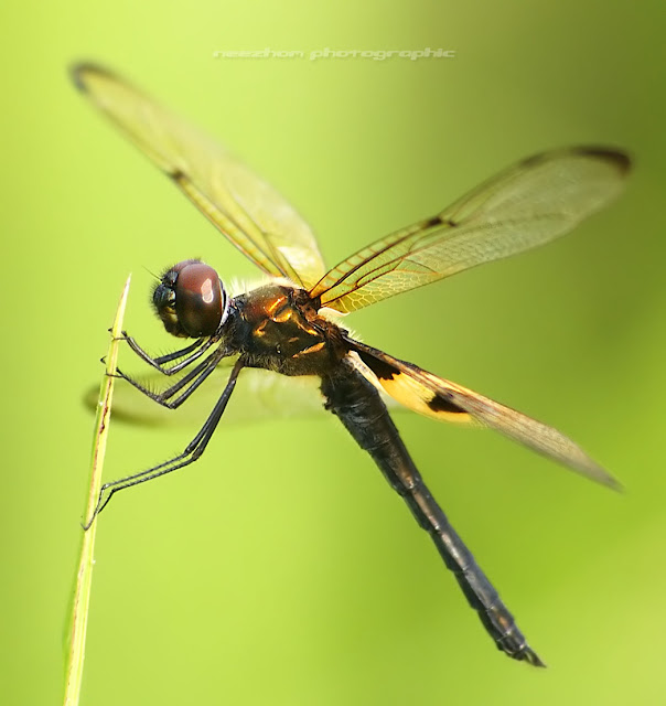 Black winged dragonfly - photo#18