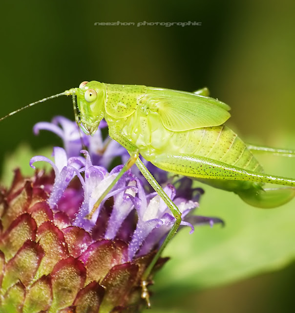 Katydid on a purple Dandelion