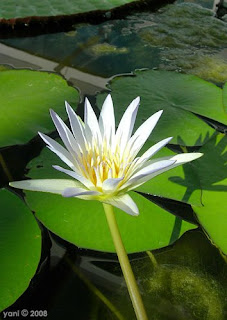 dark water lily