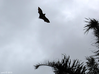 flying fox silhouette