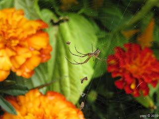sydney spider
