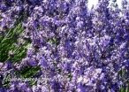 My favourite flowers-Lavender