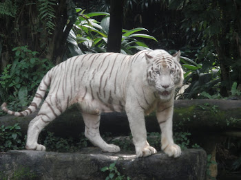 Singapore Zoo - White Tiger
