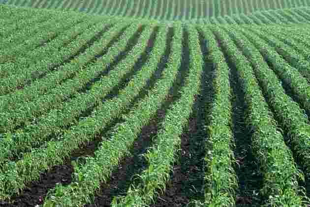 primal wisdom cornfield vs pasture
