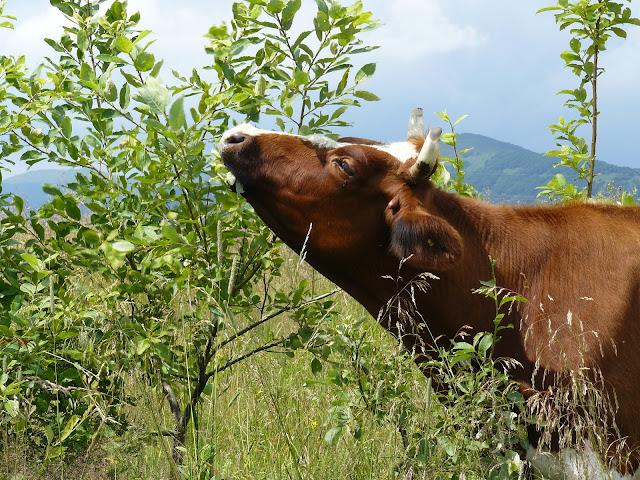 Drzewa  źródło wysokobiałkowej paszy dla zwierząt roślinożernych