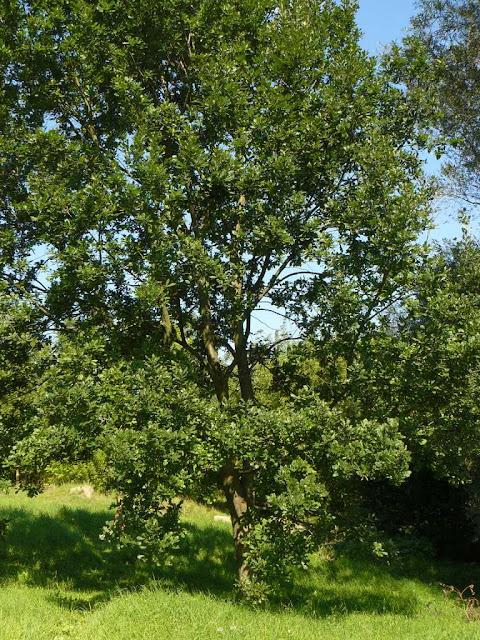 Jak wyhodować wysokiej wartości drewno w systemie agroleśniczym?
