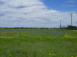 bluebonnet field with cows