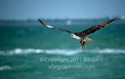 The Osprey of Sanibel Island (osprey gathering sea weed sanibel island florida )