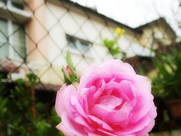 Pinky Rosie