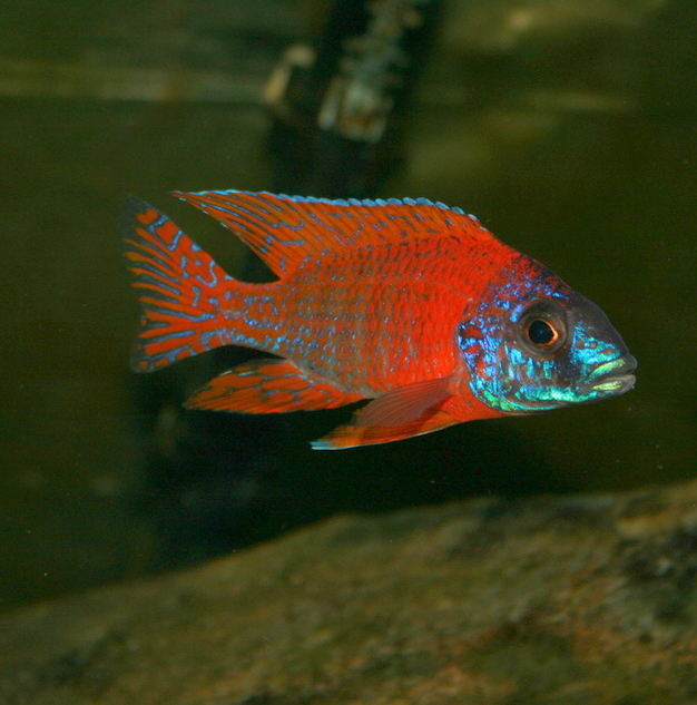 Ruby red cichlid female - photo#2