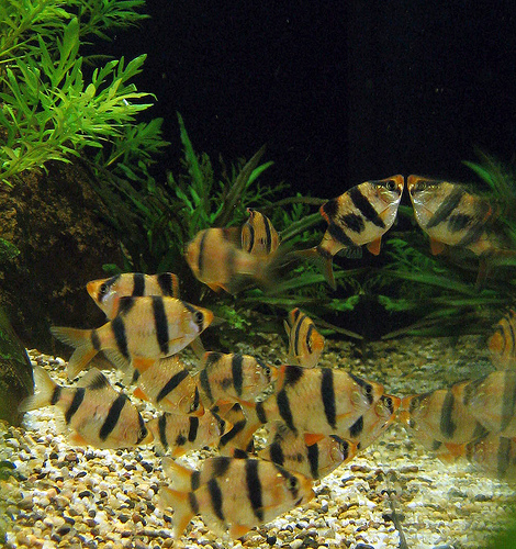Proper tiger barb fish care our pets we love 39 em for Tiger barb fish