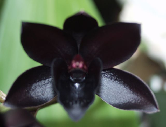���� ����� ������� ������� blackorchid.jpg