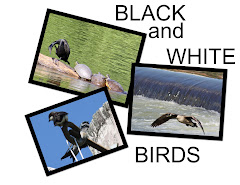 BLACK and WHITE BIRDS