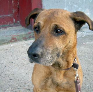 greenpoint williamsburg dog adopt adoption housebroken sweet children loves