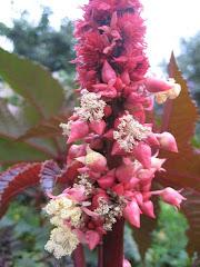 Ricinus i blomst
