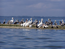 White pelicans on the Dry Bar