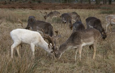 Dunham Massey's young deer lock horns