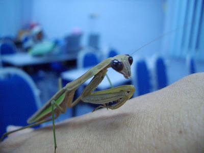 insect, mantis, cute, praying