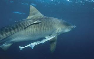 Biotic Community shark