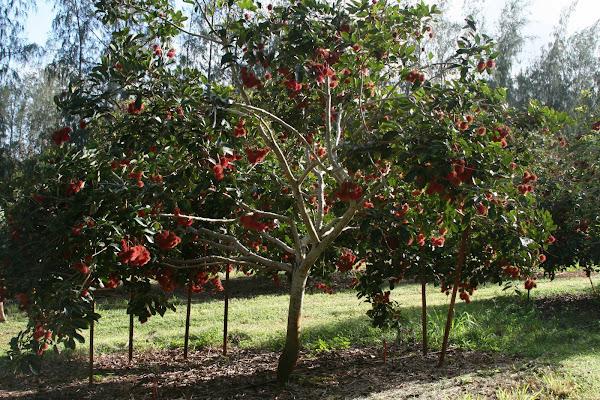 Rambutan tree with fruit