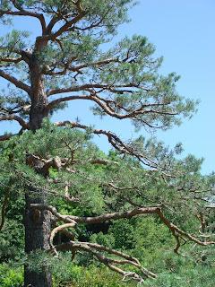 Japanese Tree