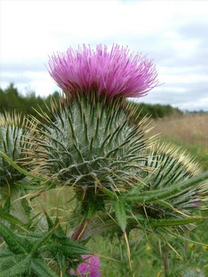 scottish thistle pictures