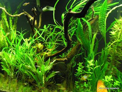 Live Aquarium Plants 1