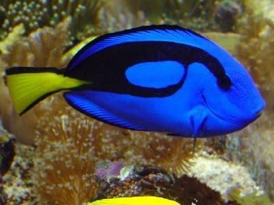 blues budak utara: 10 ikan tercantik...