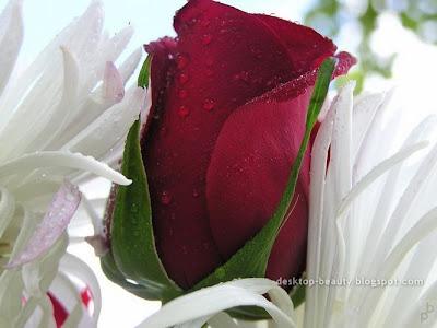 واظل الحياة رائعة roses2.jpg