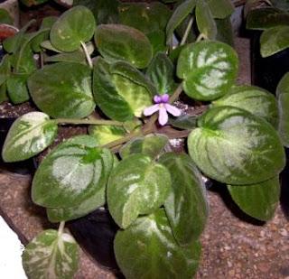 violeta africana con una sola flor de cinco pétalos