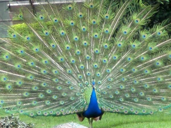 Monicolour color pavone - Immagini pavone a colori ...