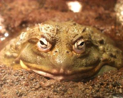 地獄來的非洲牛蛙 - 殺無赦 地獄來的非洲牛蛙