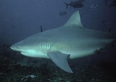 澳公牛鯊現身市區
