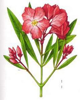 Il giardino di fasti floreali talea di oleandro for Talea di oleandro