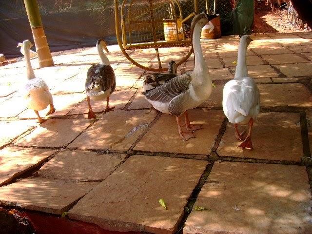Mumbai daily snapshot ducks at sherbaug