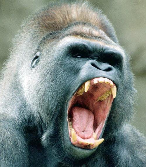 En la lucha y en la resistencia gorilas en la niebla for Gorilas en la niebla