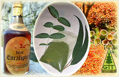Eucaliptine Spirit / Merry Christmas and Happy New Eucalyptic Year 2011 / Feliz Navidad y Prospero Año Eucalíptico 2011 / Gustavo Iglesias Trabado, Roberto Carballeira Tenreiro and Javier Folgueira Lozano / GIT Forestry Consulting SL, Consultoría y Servicios de Ingeniería Agroforestal, Lugo, Galicia, España, Spain / Eucalyptologics, Information Resources on Eucalyptus Cultivation Worldwide / Recursos de Informacion sobre el Cultivo del Eucalipto en el Mundo / EUCALYPTOLOGICS: GIT Forestry Consulting Eucalyptus Blog / Information Resources on Eucalyptus Cultivation Worldwide / Forestry Engineering, Seed, Plants, Wood, Honey, Essential Oil, Forests, Plantations, Timber, Lumber, Furniture, Veneer, Plywood, MDF Board, Cellulose, Paper, Biomass, Energy, Floristry, Foliage, Garden / Ingenieria Forestal, Semilla, Plantas, Madera, Miel, Aceite Esencial, Bosque, Plantacion, Muebles, Tablero, MDF, Celulosa, Papel, Biomasa, Energia, Ramillo Verde Ornamental, Jardin