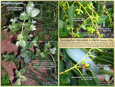 Barclay's Hybrid Eucalyptus crenulata x nitens / Flower buds, juvenile leaves and seed capsules in Hybrid Eucalyptus crenulata x nitens,  growing in Olympia, Washington, USA / Ian Barclay, The Desert Northwest / Washington, USA / GIT Forestry Consulting, Consultoría y Servicios de Ingeniería Agroforestal, Lugo, Galicia, Spain, España / EUCALYPTOLOGICS