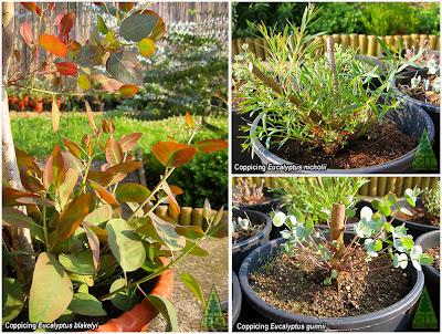Eucalyptus blakelyi gunnii nicholii coppice GIT Forestry Consulting Galicia Spain España